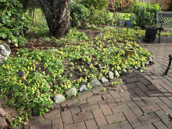 January springs forth with winter aconites.