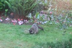 27-IMG_0971 racoon