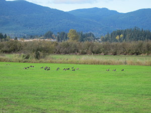 Geese at Marsh